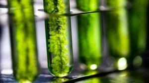 Microalgues énergies renouvelables