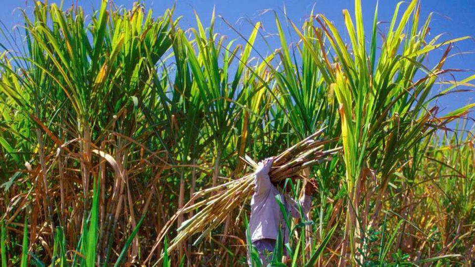 Canne à sucre bagasse énergies renouvelables
